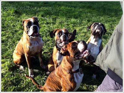 Boxergeschwister Baxter, Amira,  Amy, Apollo und Bullyhündin Emma