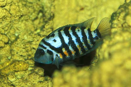 Convict Cichlid Fish With Photos Fish Pictures Online