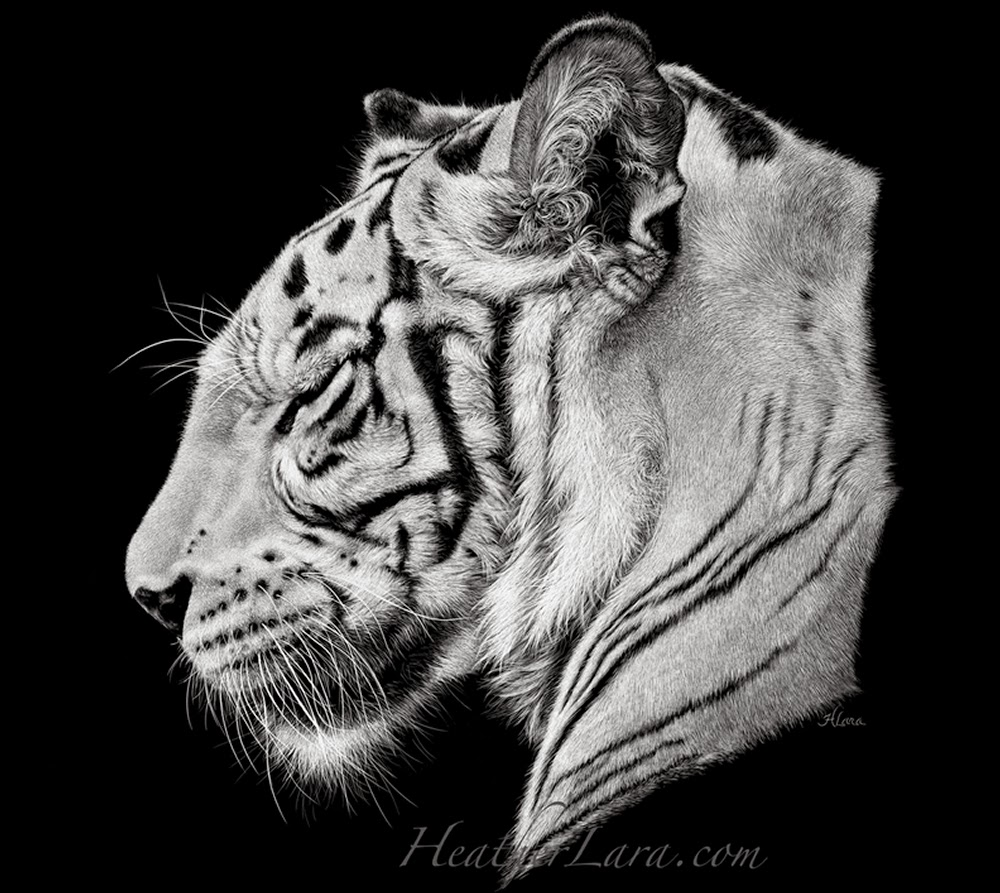 11-Tiger-White-Heather-Lara-Hyper-realistic-Animal-Scratchboard-Drawings-Wildlife-www-designstack-co