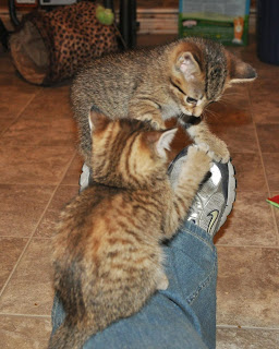Two torbie kittens attacking my tennis shoe