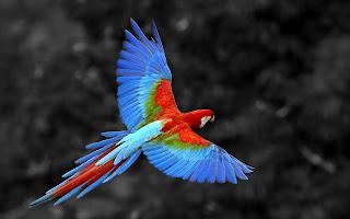 Parrot Wallpaper in HD for Desktop