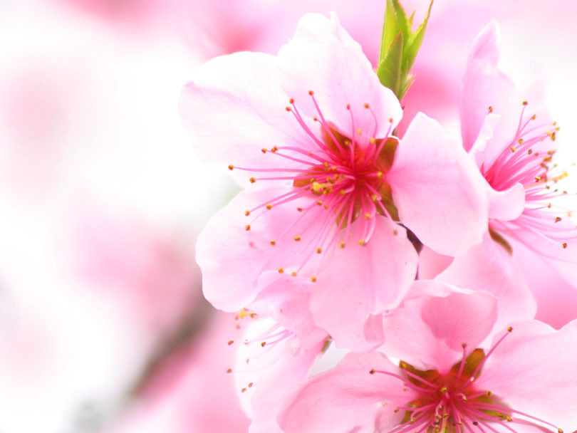 Cherry blossom flowers flowers wallpapers Cherry blossom pictures