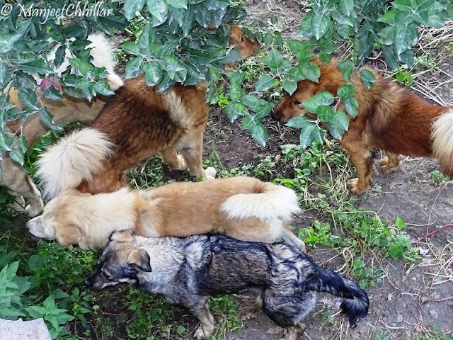 Pet Dogs Kalpa