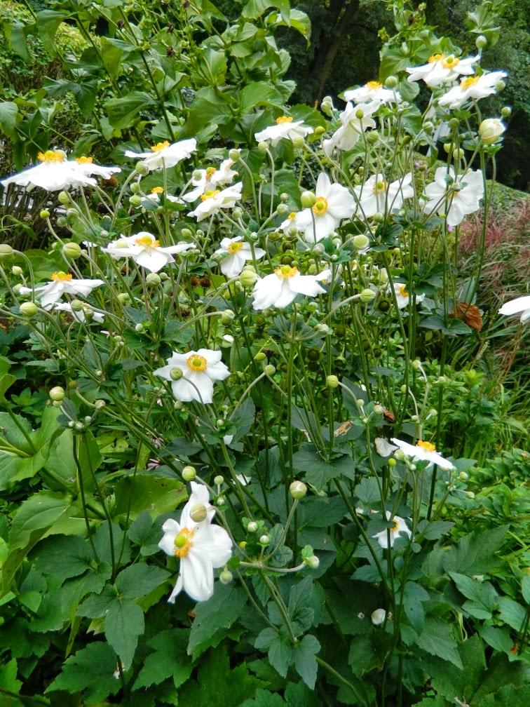 Honorine Jobert Japanese anemone x hybrida  Fall blooming perennials Garden muses--a Toronto gardening blog