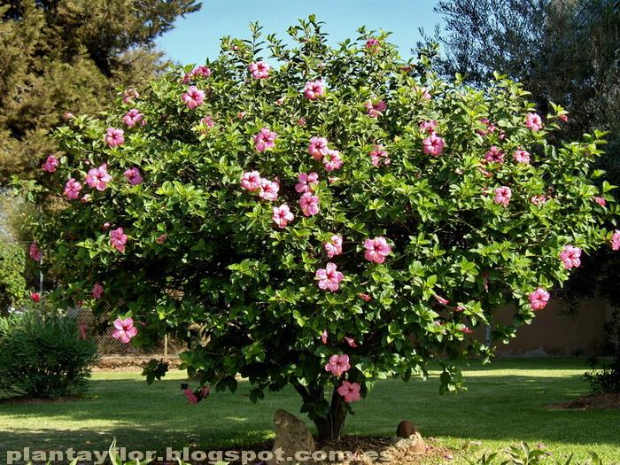 plantas y flores hibiscus rosa sinensis