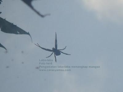 Gambar laba-laba mau menangkap mangsa