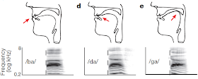 Neurological basis of speech