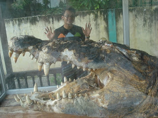 buaya terbesar didunia, buaya raksasa, buaya makan orang, bajol ijo, crocodile, the biggest cocodile in the world