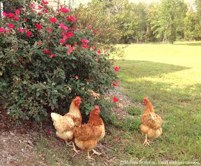 Melissa's healthy flock members.