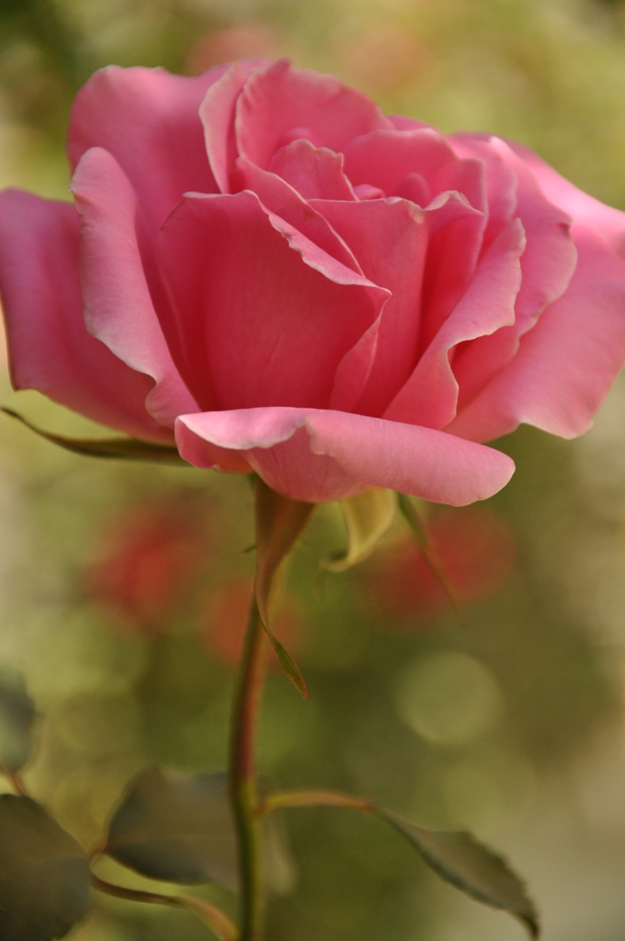 Most beautiful roses in the world 10 of the rarest and most most beautiful roses in the world for kids izmirmasajfo