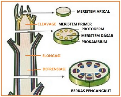 Jaringan Meristem (Jaringan Embrional)