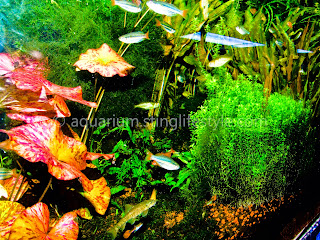 Densely Planted Aquarium with Bright Tiger Lilly
