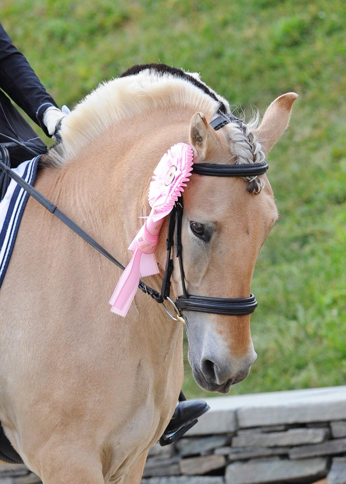 Fjord horse dressage