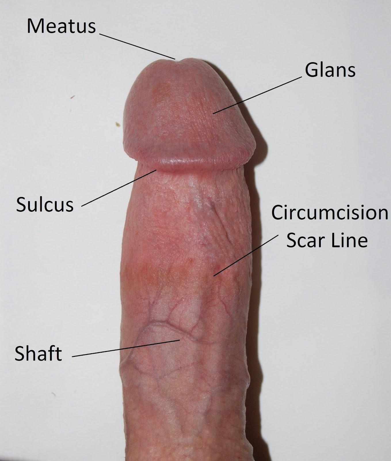 пенис википедия