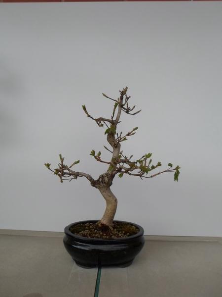 acer campestre bonsai
