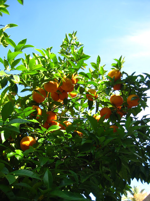 Orange tree in Seville, Spain.