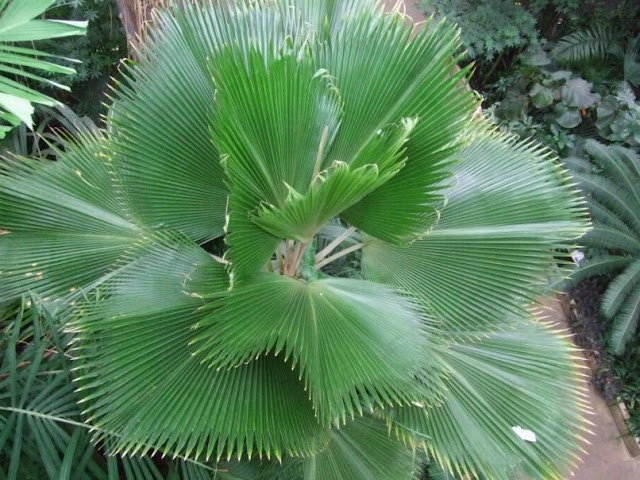 Fiji Fan Palm - Pritchardia pacifica at the Palm House in Kew Gardens