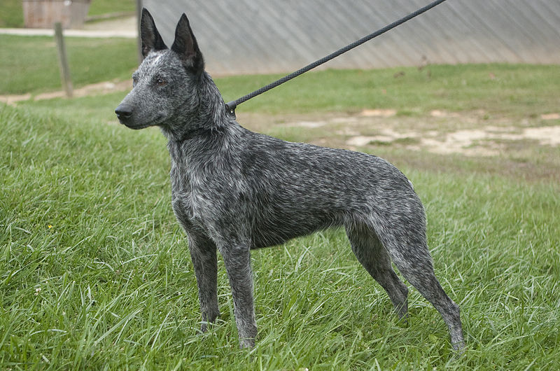 The Australian stumpy tail cattle dog is also known as the stumpy tail