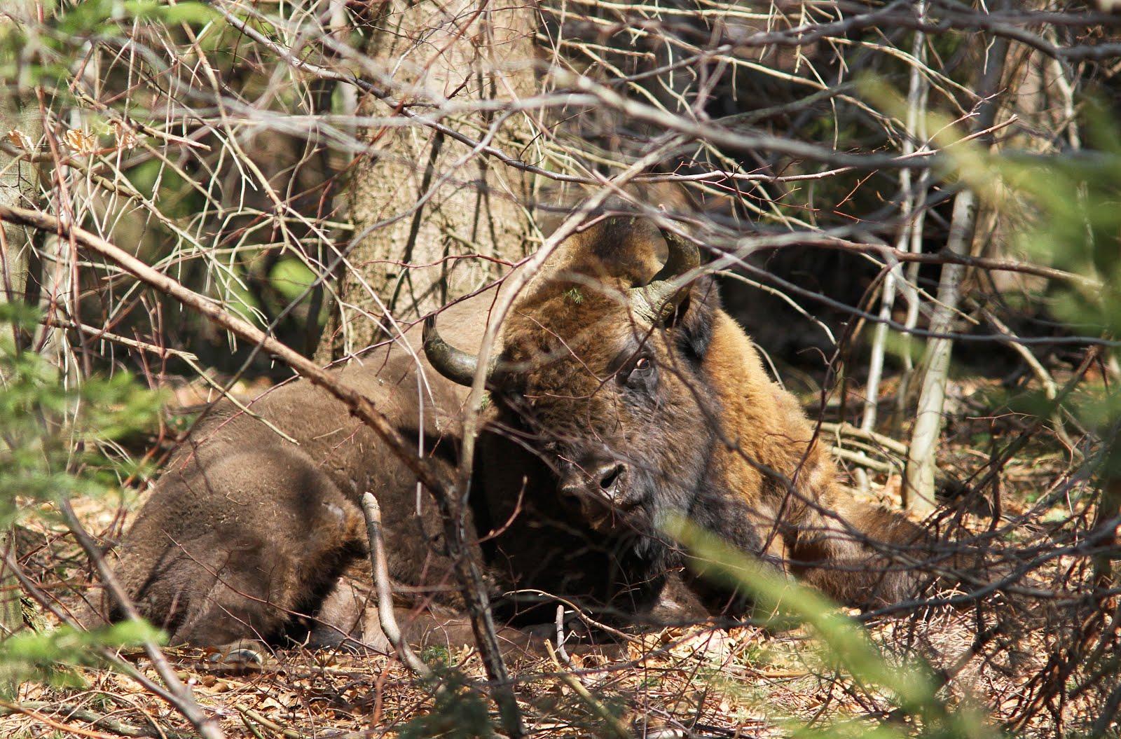 Eurasian Bison