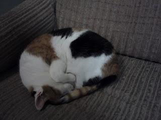 scratching flea dermatitis cats