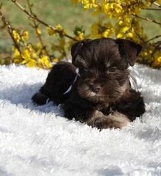How much does a Miniature Schnauzer Puppy cost?