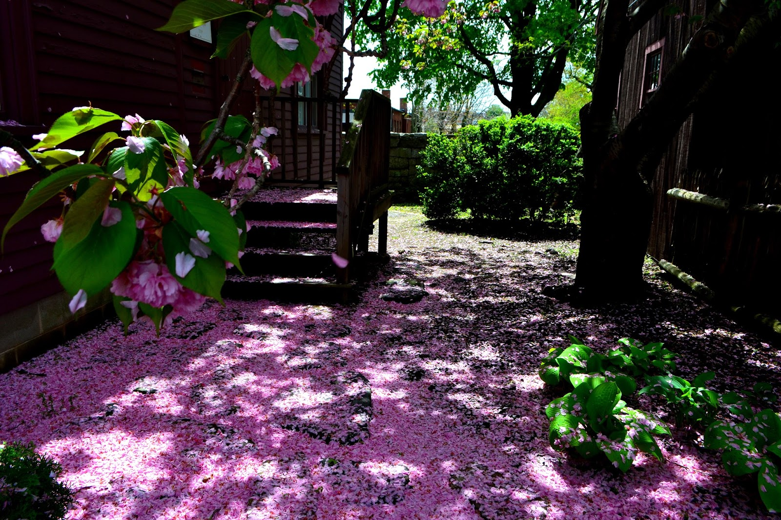 shadow, pink, petals, fallen, crabapple, salem