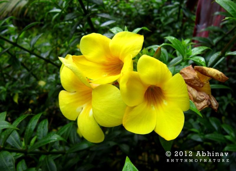 Yellow bell flower or allamanda kolambi rhythm of nature yellow bell flowers mightylinksfo