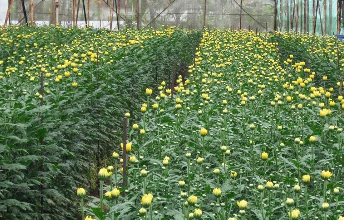 gambar kebun bunga krisan belum mekar