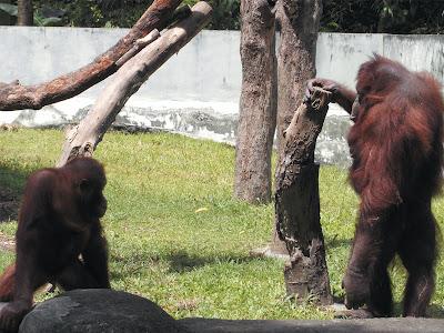 foto orang utan di kebun binatang gembiraloka 04