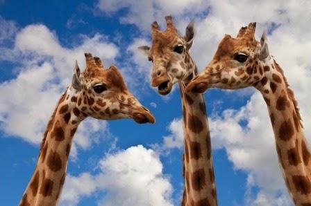 dialogo tra giraffe