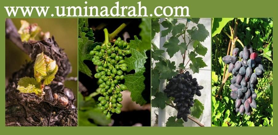 www.uminadrah.com