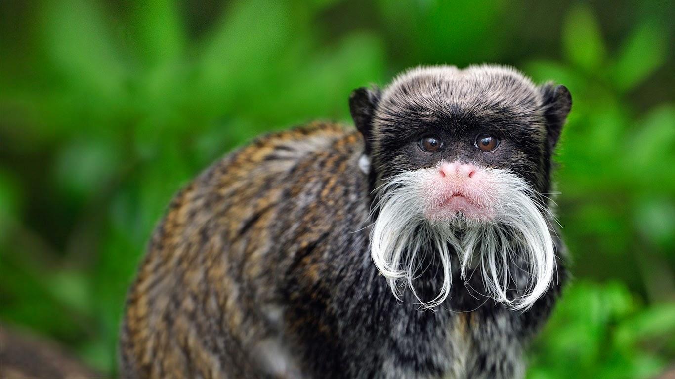 Emperor tamarin monkey in Manu National Park, Peru (© Thomas Marent/Minden Pictures) 21
