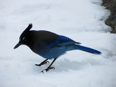 A Steller's Jay at Alberta Falls in Colorado