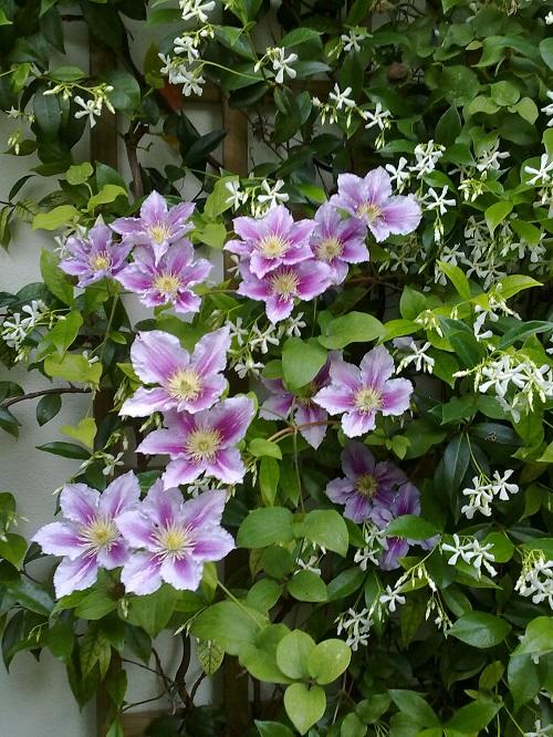trachelospermum jasminoides y clematis