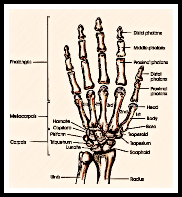 Radiography Of Hands And Wrist Radtechonduty