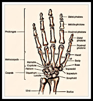 hand radiology anatomy