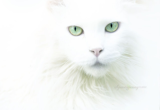 Mikey  deaf white cat