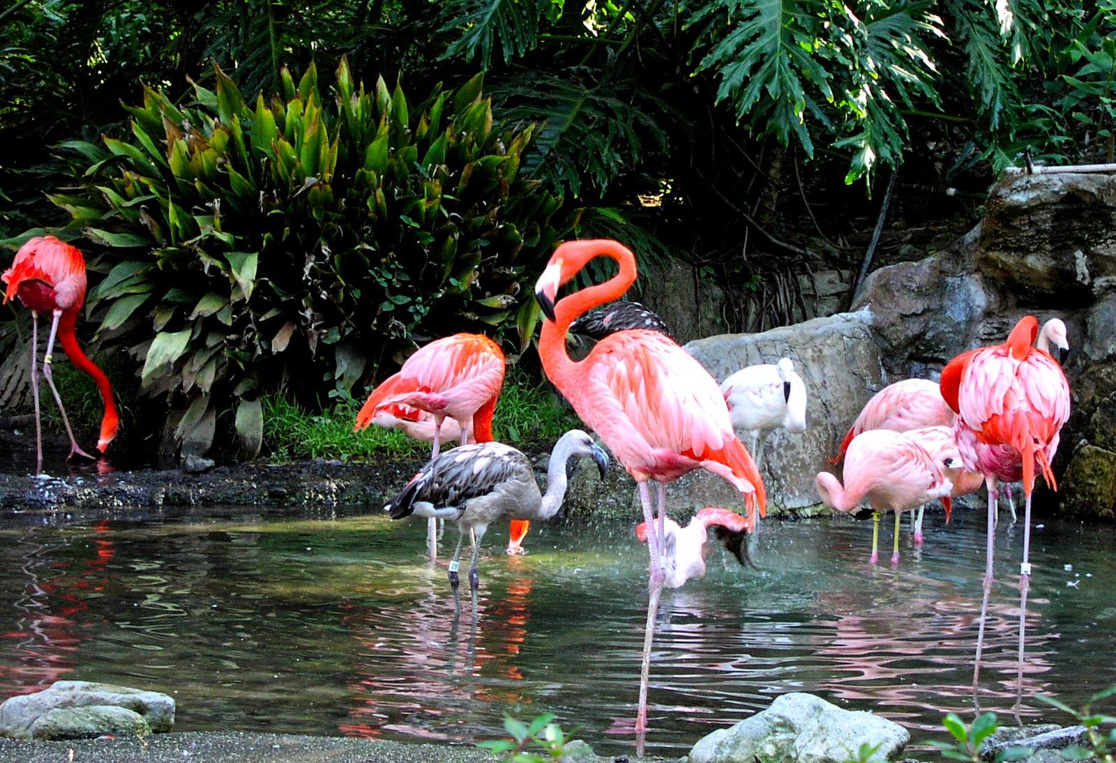 flamingos_standing