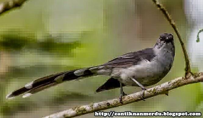 Foto Burung Murai Air Jantan