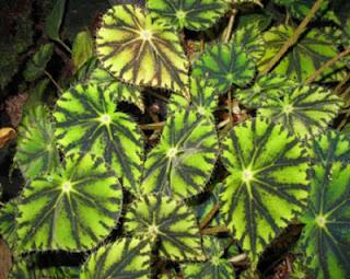 Jardineria Catalogo de Plantas: Begonia boweri