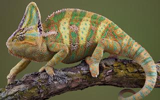 Reptiles,Chameleon