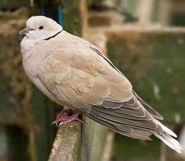 Foto Burung Puter Terbaik