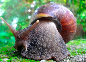 Caracol gigante africano