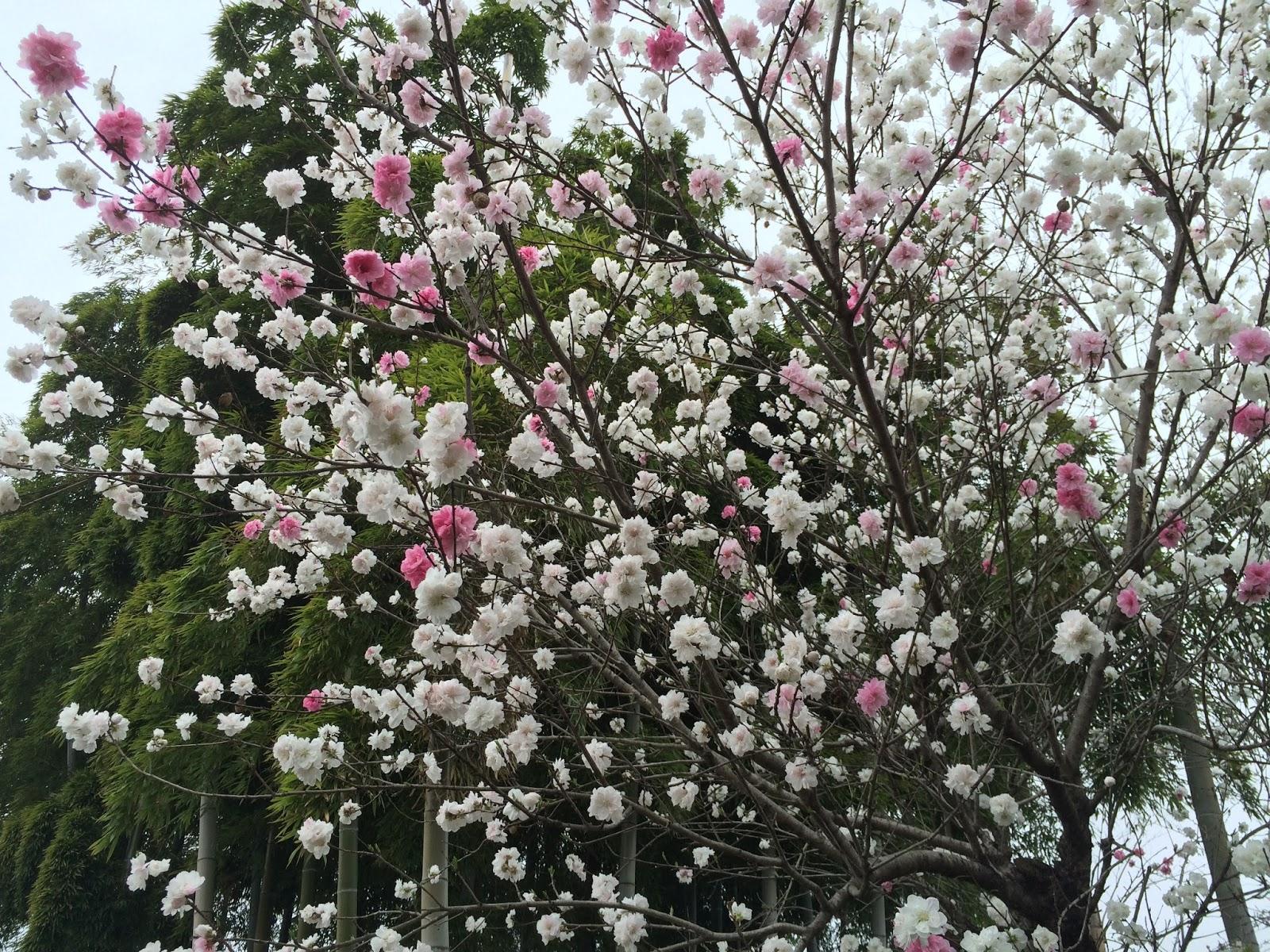 ome-gyokusenzi-hanamomo