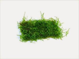 gambar-Taxiphyllum-Barbieri-java-moss-lempeng-bahan-tanaman-moss-aquascape