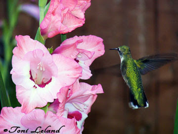 Ruby-throated Hummingbird with Gladiolus by Toni Leland