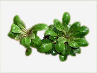 gambar-Lobelia-Cardinalis-tanaman-stem-aquascape
