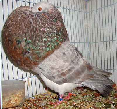 ENCYCLOPEDIA OF PIGEON: Gaditano Pouter Pigeon Pictures