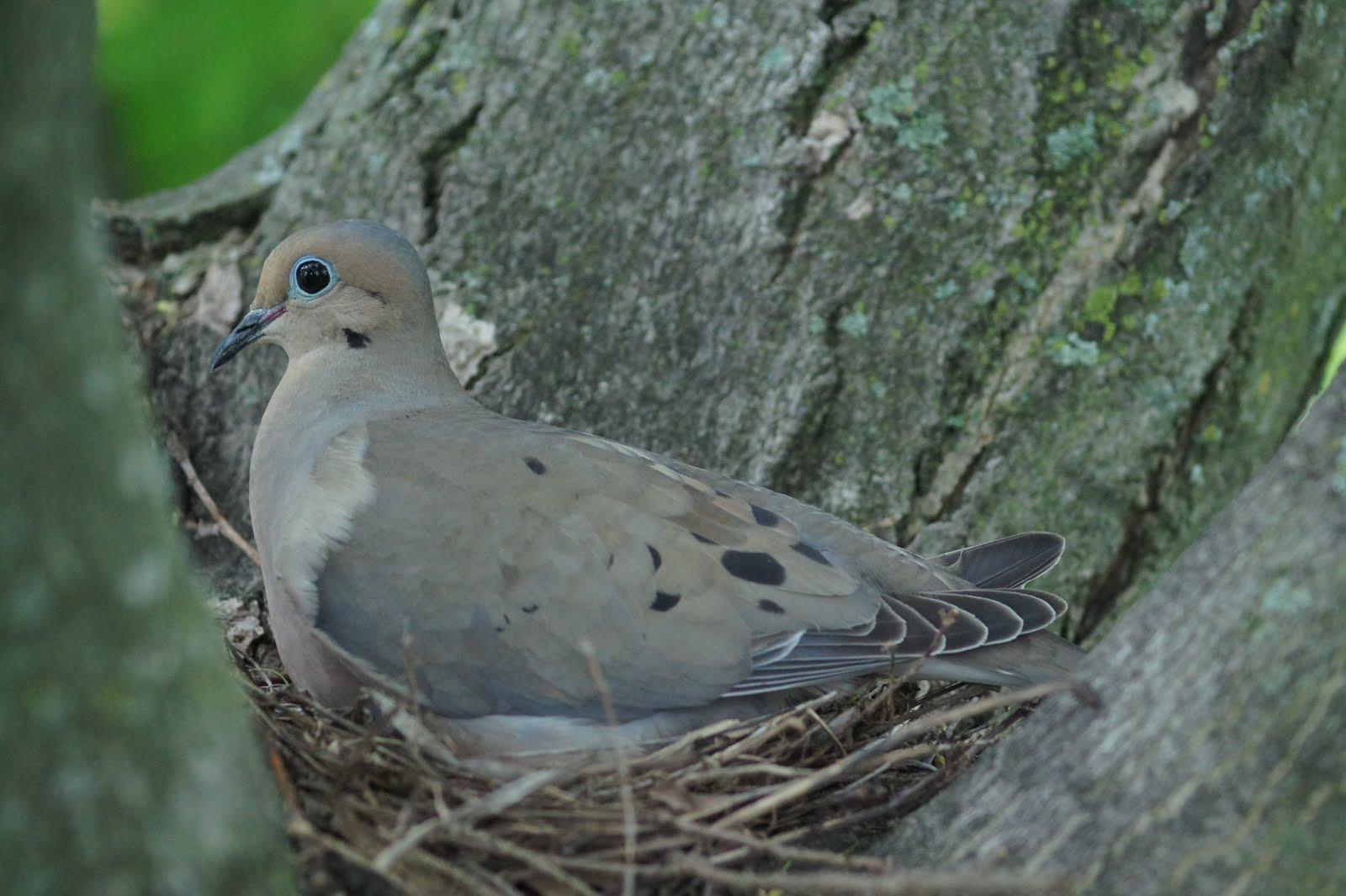 Mourning Dove Nest portraits of HIS handi...