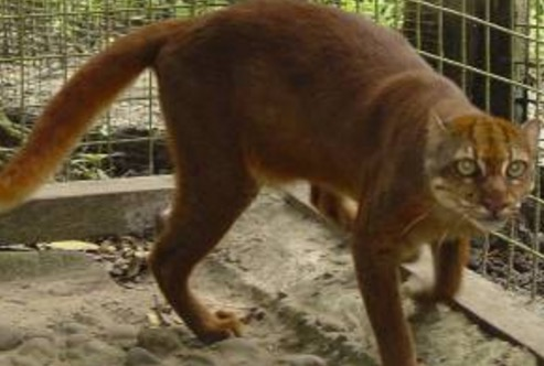 Bay Cat, kucing liar paling jarang ditemui di dunia ada di Sarawak